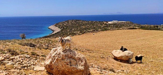 Goat Donousa